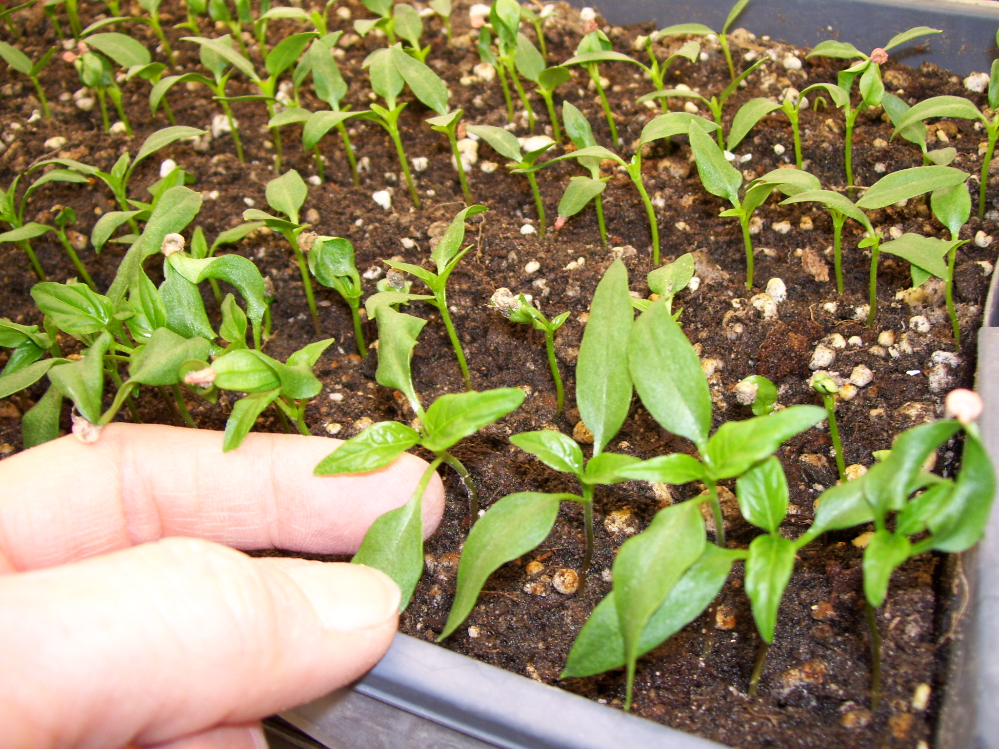 Черный перец растение фото рассада