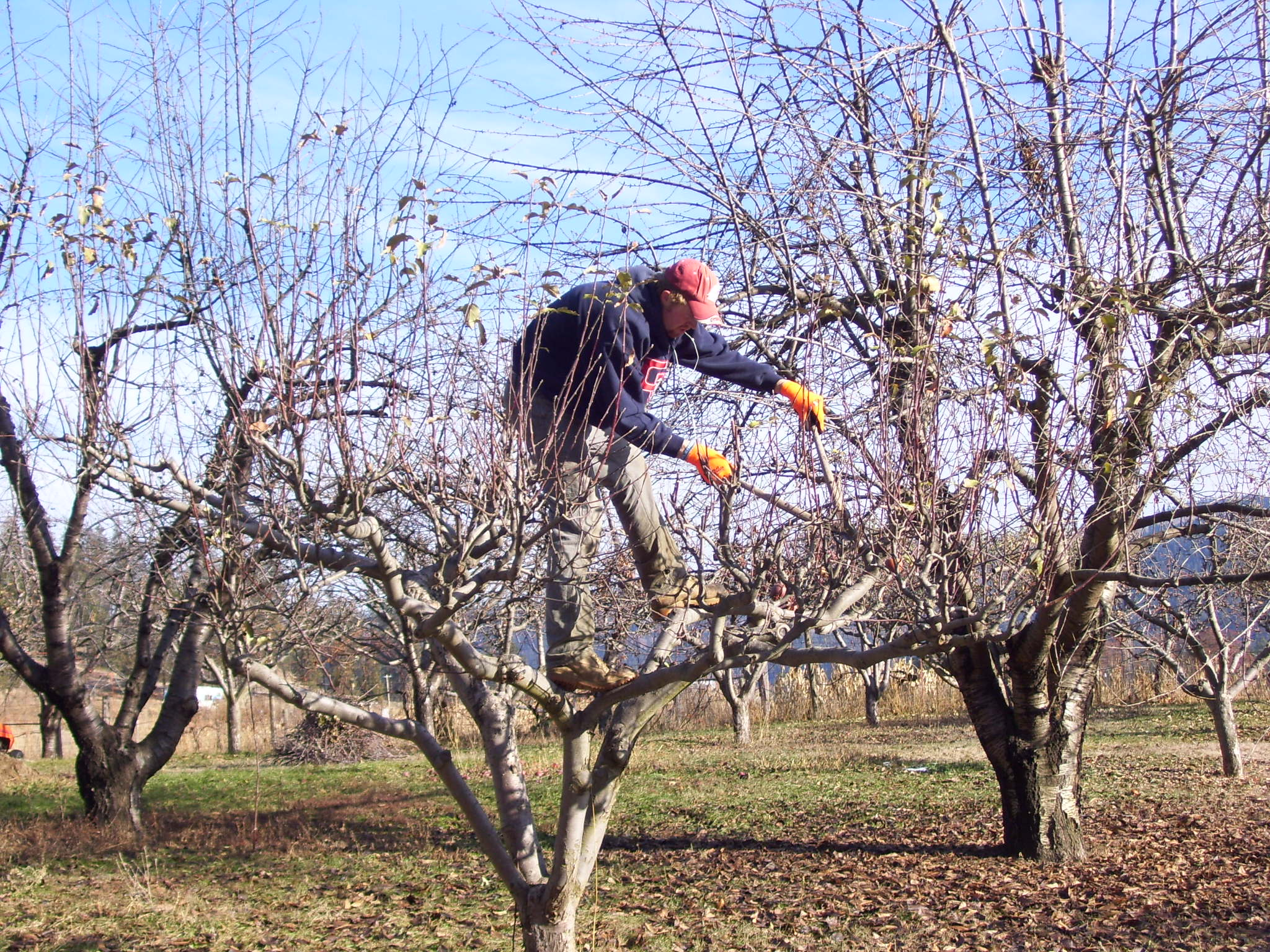Pruning Apple Tree The Professional Gardener