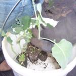 Individual Cabbage Start