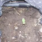 Seed under drip