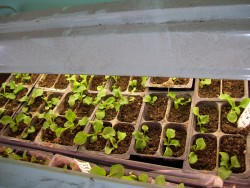 Transplanted Petunias