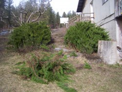 Juniper Bushes