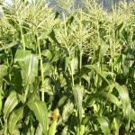 Corn in Tassel